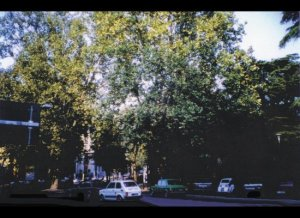 "The Sycamore Trees in Verona -- Still There -- Remnants of the Grove ""Shakespeare"" Had Seen"