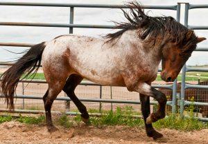 Barbary Horse