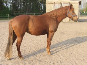 Red Roan Barb